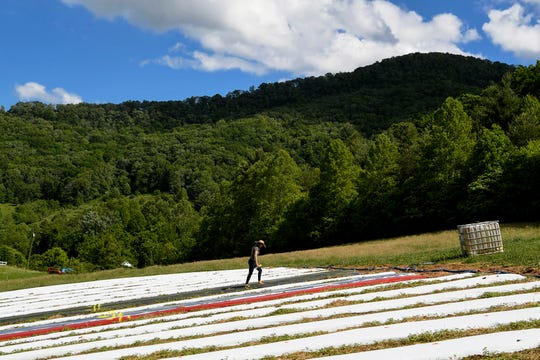 Meagan Coneybeer-Roberts, a PhD researcher and part of the Alternative Crops and Organic Research group at NC State, walks between rows of plastic ground cover at Franny's Farm in Leicester May 13, 2019.