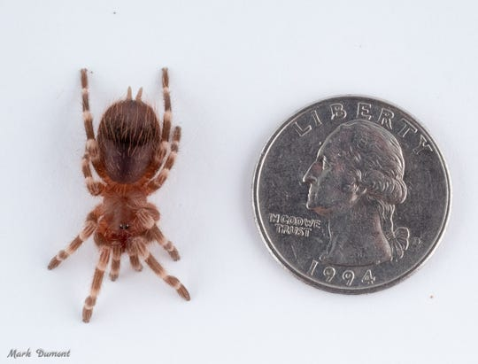 This is one of eight tarantulas given to the Cincinnati Zoo after being illegally brought into the country.