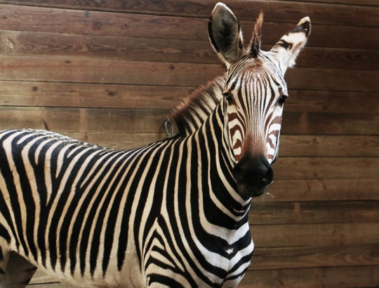 Duchess the zebra is now part of Blank Park Zoo's Species Survival Program. Visitors can see the animals every Tuesday, Thursday, Saturday and Sunday.