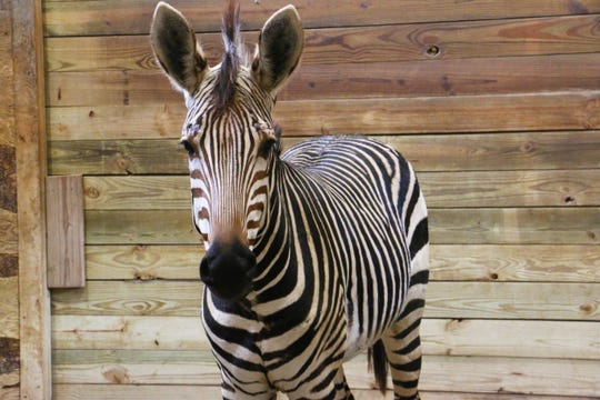 Duke, a male mountain zebra, has been added to the Blank Park Zoo's Species Survival Program with a female named Duchess. Visitors can currently see the animals every Tuesday, Thursday, Saturday and Sunday.
