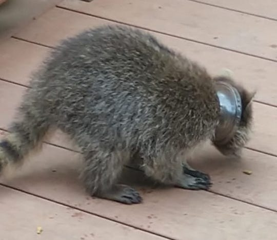 Dearborn resident Nancy Covert discovered a raccoon with a lid stuck to its neck outside her home on July 2.