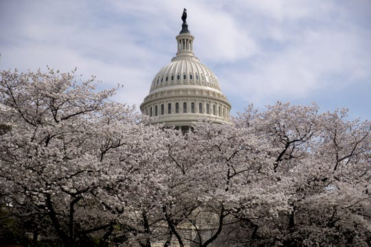 The Dome of the U.S. Capitol Building is visible as cherry blossom trees bloom on the West Lawn, Saturday, March 30, 2019,.