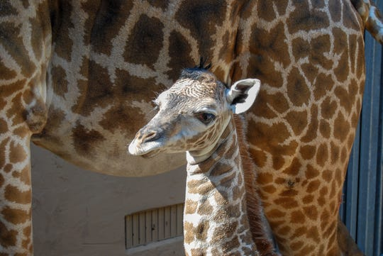 A new baby giraffe was born Sunday, June 30 at the Greenville Zoo.