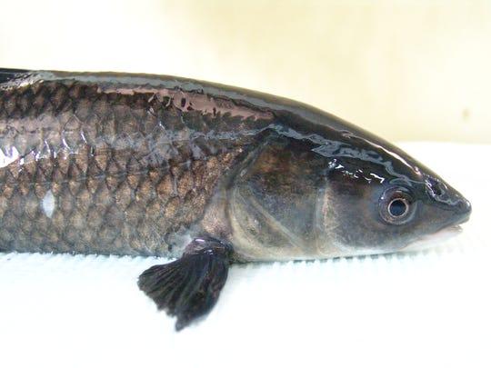 A black carp.