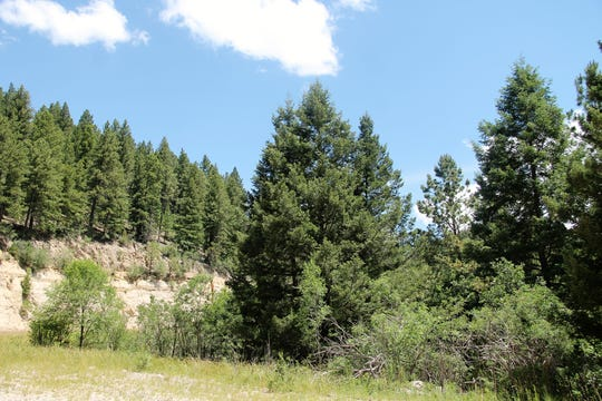 Ponderosa Pine trees in the Lincoln National Forest.