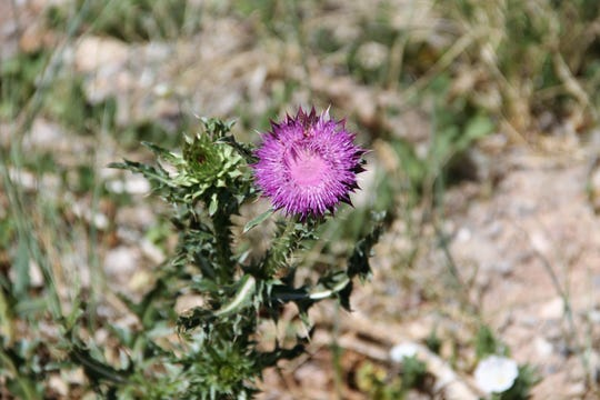 A Musk Thistle in the Lincoln National Forest.