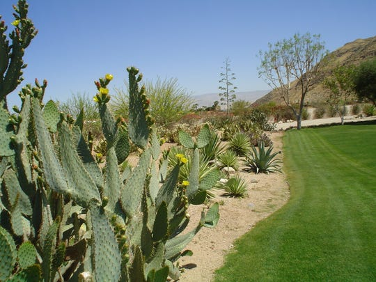 Often rabbits drawn in by green lawns will create extensive underground tunnels beneath nearby cactuses.
