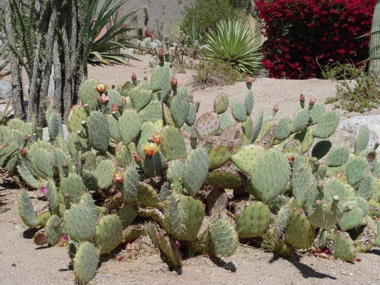 This specimen opuntia sits on top of rabbit tunnels that interfere with irrigation water and allow roots to dehydrate underground.