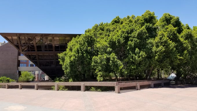 Crews will remove four ficus trees and trim two others near the Tempe City Council chambers, pictured in July 2019.