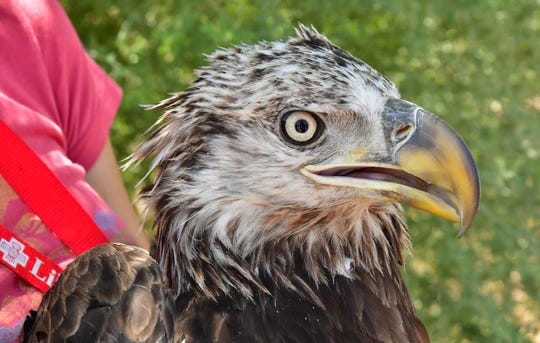 The bald eagle healed for four months after officials found the eagle on the ground with a shattered femur. Once it healed from surgery, it was released back into the wild.