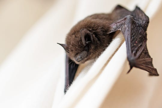 Mid-July to late August is prime time for bats getting into people's homes.