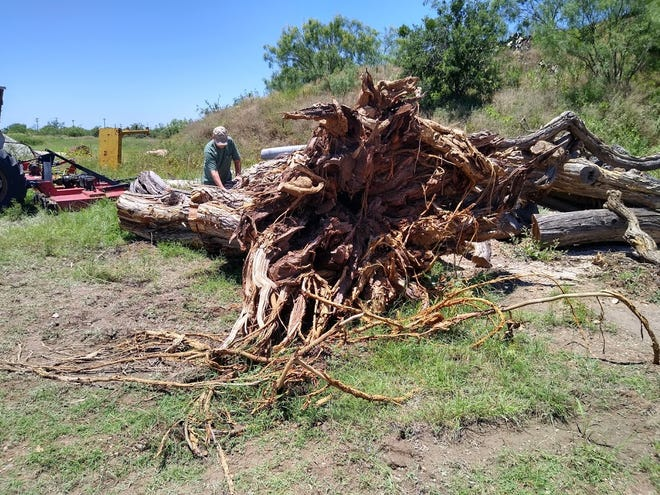A local woodworker surveys a fallen bois d'arc tree that stood on the east side of the Tom Green County Courthouse in San Angelo for more than 135 years. Plans are being made to harvest the usable wood from the tree. The tree is being stored at an undisclosed location to prevent pilfering.
