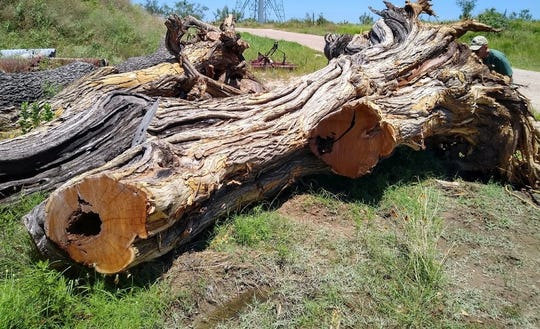 A fallen bois d'arc tree rests at an undisclosed location in Tom Green County. Officials are working to harvest wood from the tree, which stood beside the county courthouse for more than a century.