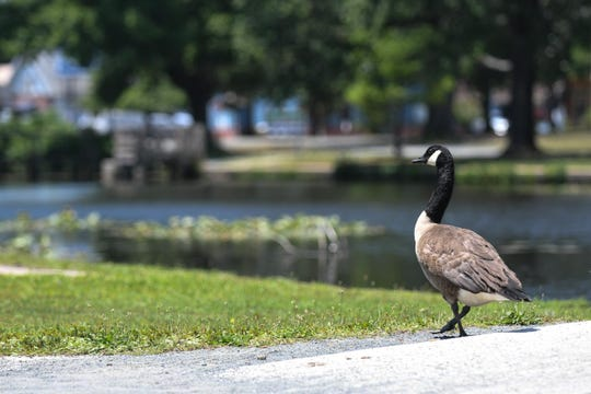 A goose stands near the Salisbury City park bridge on Tuesday, July 2, 2019.