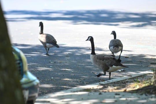 A few geese walk around the Salisbury City park on Tuesday, July 2, 2019.