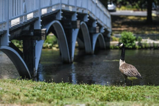 A goose stands near a bridge in Salisbury, Md., on July 2.