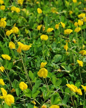 Perennial peanut is an aggressive groundcover for sunny, dry, and poor soil locations. Try it in Treasure Coast landscapes where water and nutrients are limited.