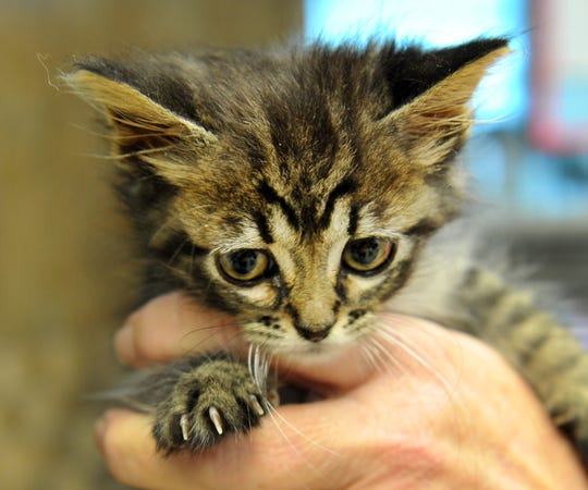 Meet Cobra. She is an 8-week-old domestic short hair kitten that is looking for her first home. You can find Cobra at the Animal Service Center located on Hatton Rd.