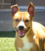 This is Duke Smith. He is an 18-month-old boxer-mix that is looking for his forever home. He is good with people, kids, and cats. You can meet Duke Smith at the Animal Service Center located on Hatton Rd.