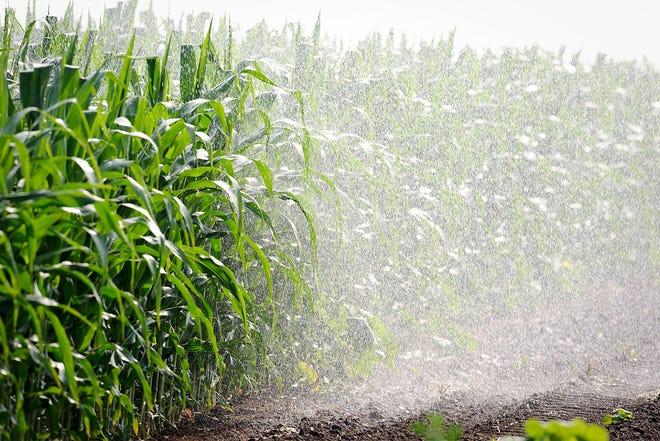 An irrigation system waters corn plants growing in a Wisconsin farm field.