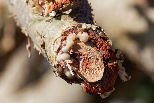A close-up view of a branch from the boswellia papyrifera tree, from which frankincense comes from.