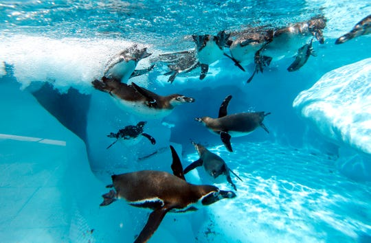 Penguins swim in a pool in Belgrade Zoo, Serbia, Tuesday, July 2, 2019. Authorities have warned of extremely hot temperatures in Serbia and the rest of the Balkans as a heat wave that has hit western Europe moves toward east of the continent.