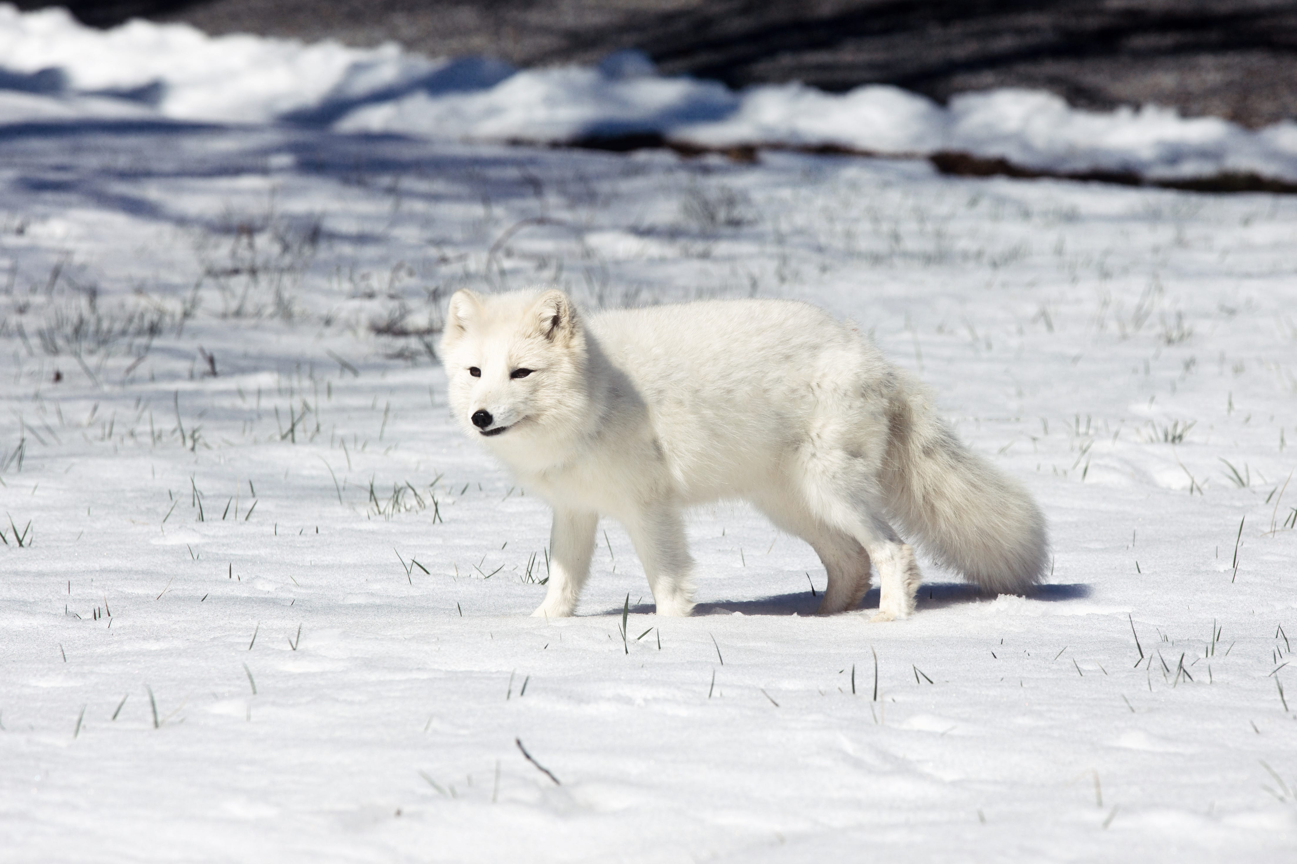 Arctic fox travels record-setting 2,200 miles in 76 days