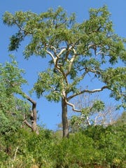 A large boswellia papyrifera tree, used to produce frankincense, in Oman.