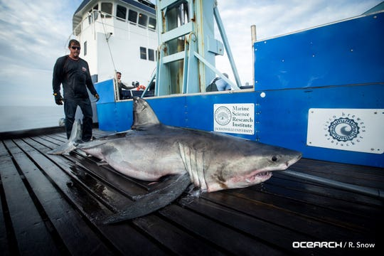 Miss May, an 800-pound great white shark on board the OCEARCH research vessel on Feb. 15, 2019 , when a satellite tag was placed on her.