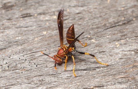 A paper wasp collects wood for nest construction.