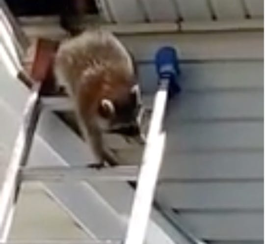 Raccoon uses ladder to escape South Jersey construction site