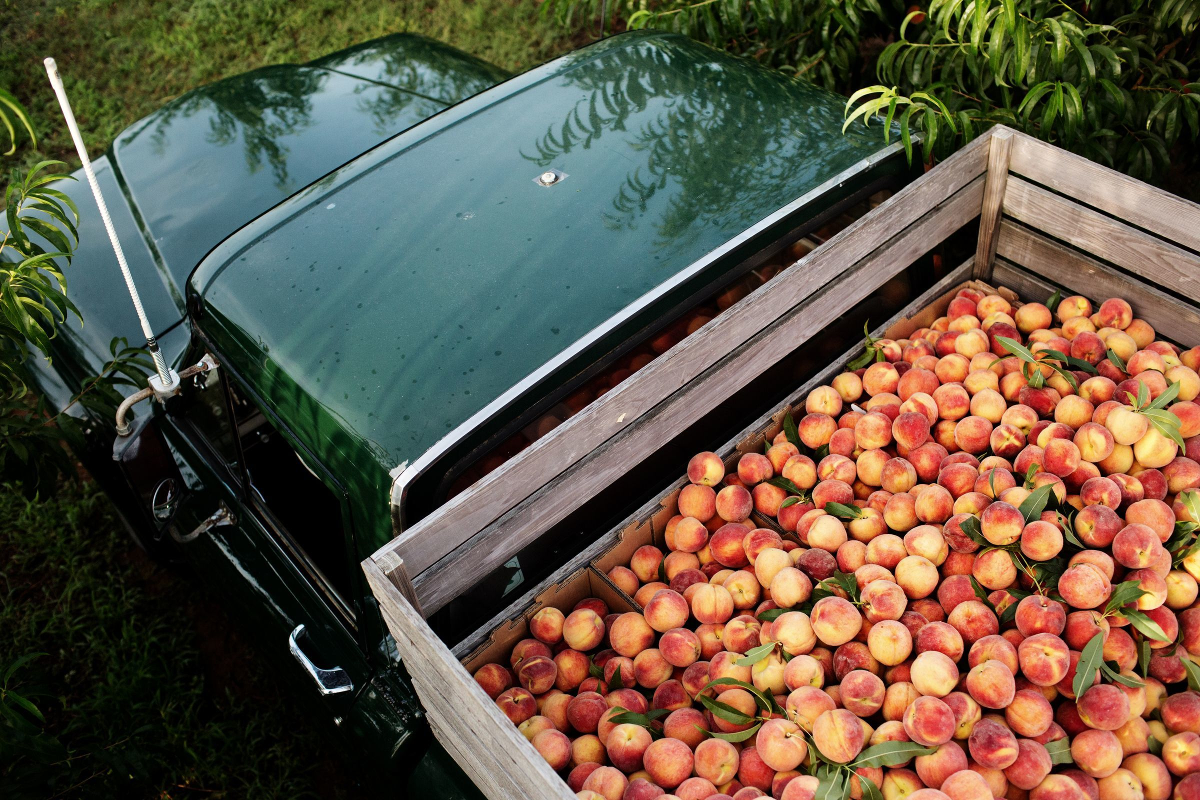Trucks of ripe Georgia peaches coming to Michigan: Where to find them