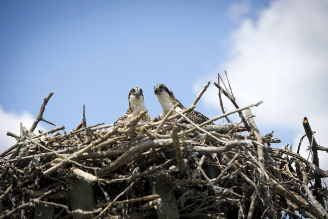 The once-struggling osprey are now thriving in Michigan's urban areas, thanks to a reintroduction program.