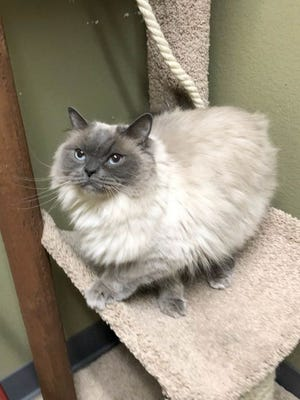 Lulu is one of the cats currently available for adoption at the Oconto Area Humane Society. OAHS and 14 other shelters in Wisconsin are offering free adoption of adult cats.