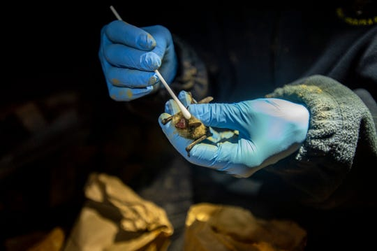 Lauri Hanauska-Brown, Non-game Wildlife Management Bureau chief for Montana Fish, Wildlife & Parks, collects nose and wing swabs from the myotis genus of bat found in Lick Creek Cave in the Helena-Lewis and Clark National Forest in early April. Texas Parks and Wildlife confirmed the first bat with the disease was found in Central Texas.