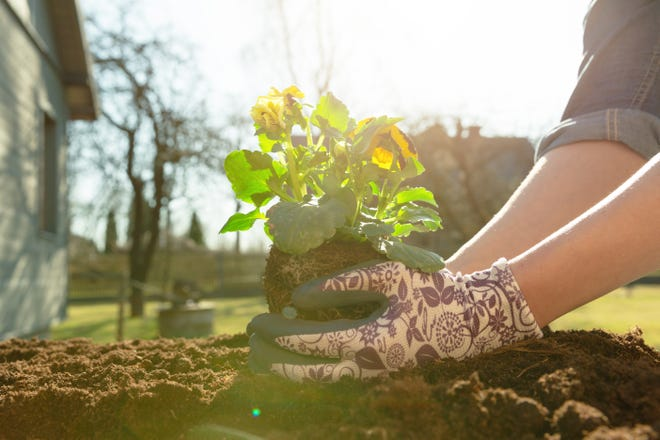 When digging or weeding in a garden, sharp stones, slivers, thorns, and other plant materials can injure unprotected hands.