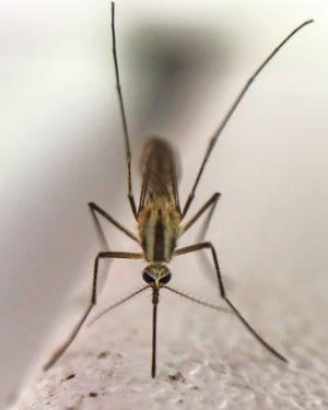 Mosquitoes are breeding rampantly in North Central Ohio after large amounts of rainfall.