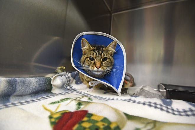 Katy recovers from her injuries at Phillips Animal Hospital in July of 2018.