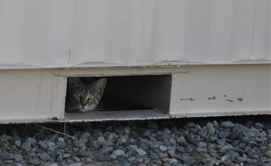 A cat peers out from under a storage shed July 3 in downtown Farmington. The July 4 holiday weekend can be a terrifying time for many animals unaccustomed to the noise of fireworks.