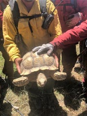 An inmate fire crew from the New Mexico State Forestry division found a pet tortoise who was unharmed at the site of the Arroyo Fire about five miles east of Bloomfield on July 2, 2019.