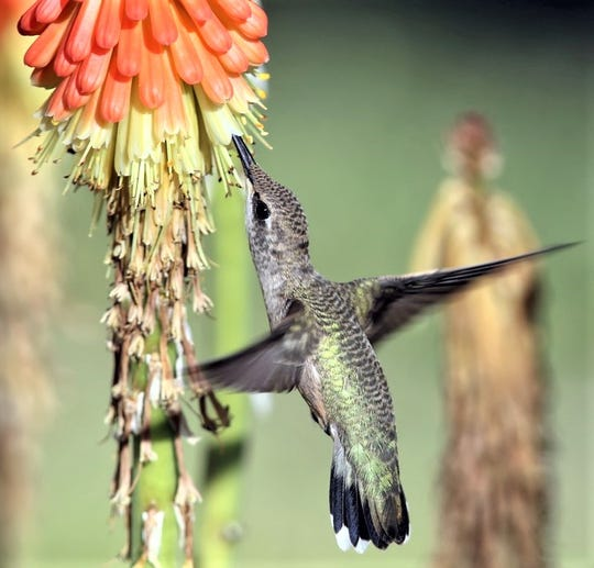 A hummingbird uses his long tongue to access the flower's nectar.