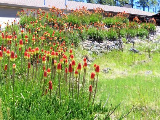Red hot pokers decorate a yard in Ruidoso.
