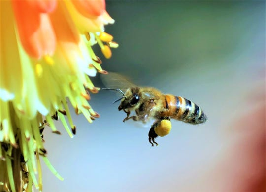 A bee visits a poker plant.