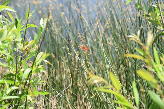 A dragonfly darts among reeds at JD Dam Lake.