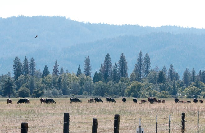 Cattle graze just outside the town of Hayfork in Trinity County on Tuesday, July 2, 2019.