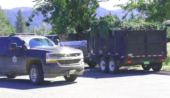 A trailer load of freshly-cut, illegal marijuana sits in the parking lot of the Trinity County sheriff's substation in Hayfork on Tuesday, July 2, 2019. State and federal agencies confiscated a total of 2,958 pot plants from three parcels in Trinity County and detained eight suspects.