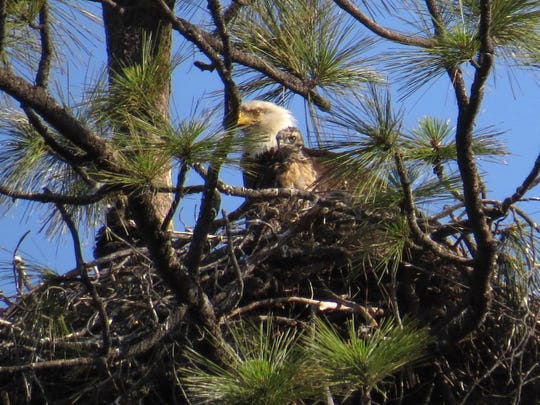 Eagles raising a hawk outside Redding might have initially intended to feed it to their own young, or it's possible the hawk's mother laid its egg in the wrong nest, experts say.