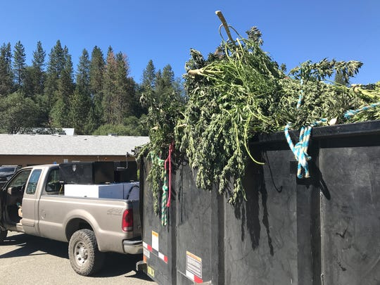 A California Department of Fish and Wildlife truck hauls a trailer load of confiscated, illegal marijuana into the parking lot of the Trinity County sheriff's substation in Hayfork on Tuesday, July 2, 2019.