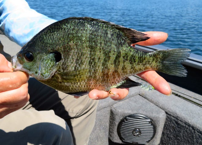 Big bluegill are often caught by anglers that are fishing for walleyes.