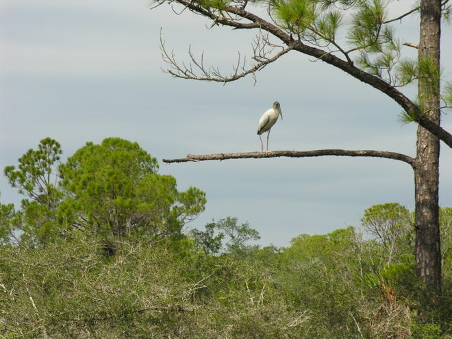 When it comes to food, there is no professional courtesy between wood storks. Days are spent in the endless search for groceries to sustain their families, and themselves.